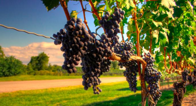 Australia grapes